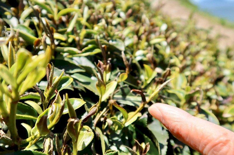 疫情下茶農的衝擊與考驗 上