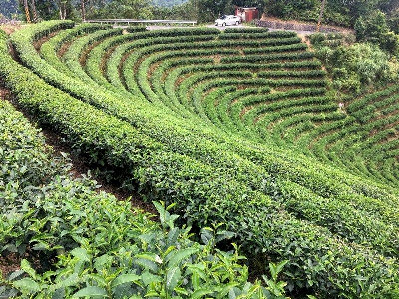 疫情下茶農的衝擊與考驗 下