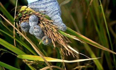 中國首允進口美稻米 又說法律步驟沒走完
