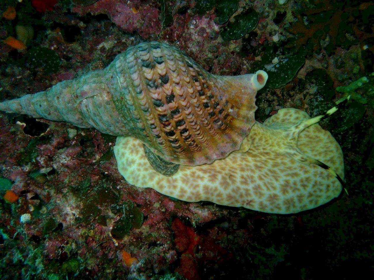 拯救大堡礁出奇招 澳擬釋放巨型海蝸牛