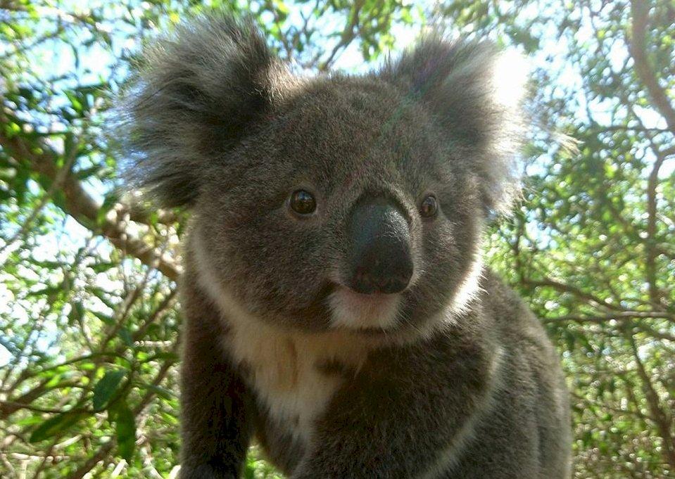 拯救澳洲無尾熊 WWF出動無人機灑膠樹種子