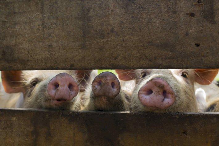 非洲豬瘟疫情再起 鼓勵養豬加大風險