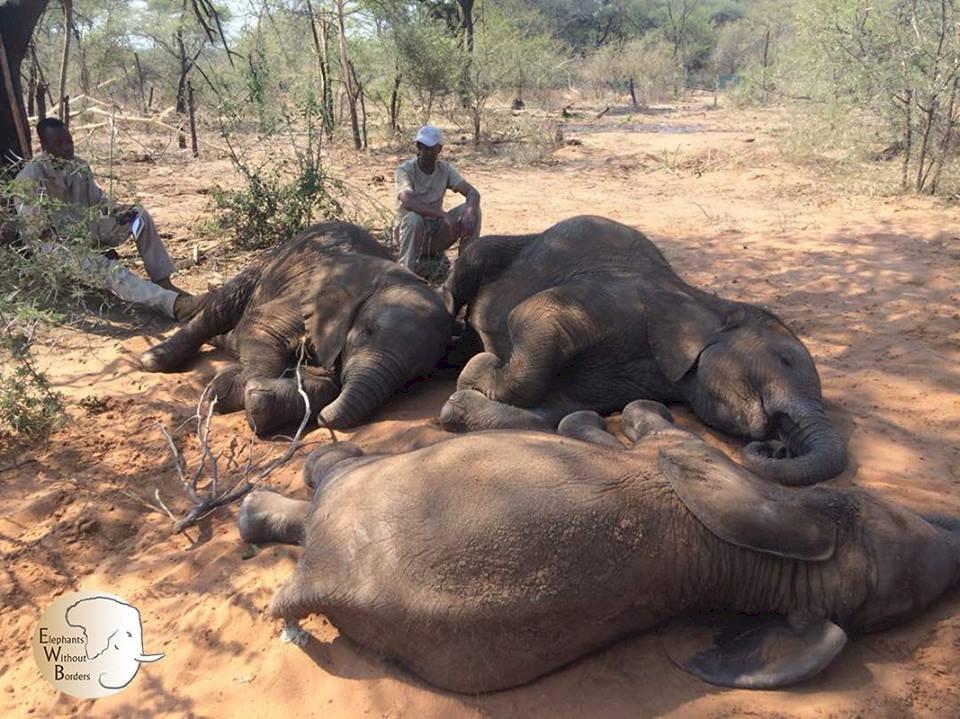 波札那考慮 解除獵殺大象禁令