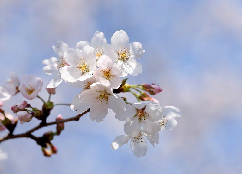 日本各地傳櫻花開 北海道氣溫急凍