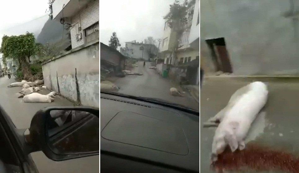 豬瘟災情影片超驚悚 病死豬吐血滿街倒