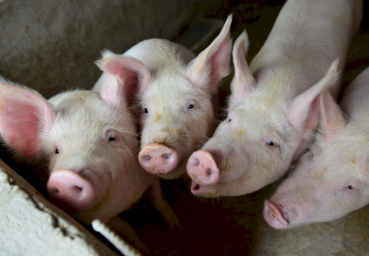 廣州發現非洲豬瘟 中國疫情達100例