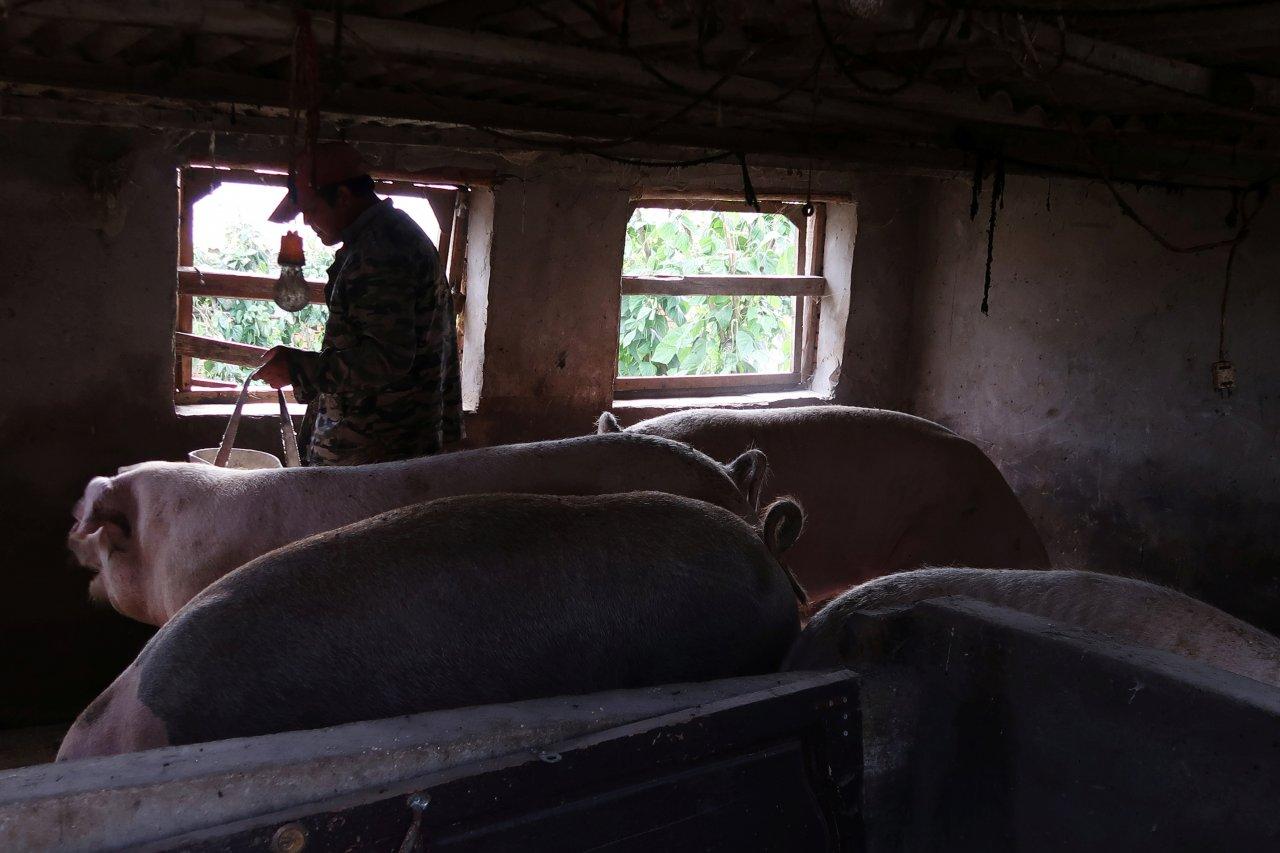 非洲豬瘟影響 中國20養豬場暫停向港澳供貨