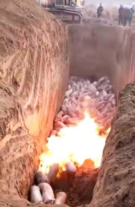中國非洲豬瘟疫區 65萬活豬慘遭屠殺
