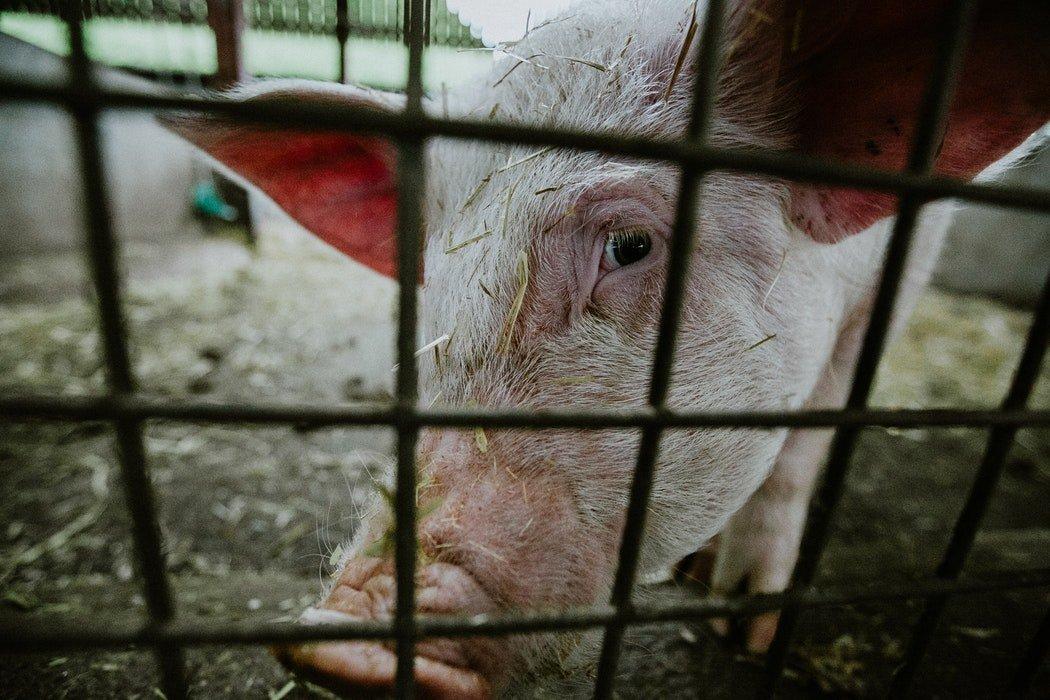中國新版非洲豬瘟應急方案 哨兵豬入列