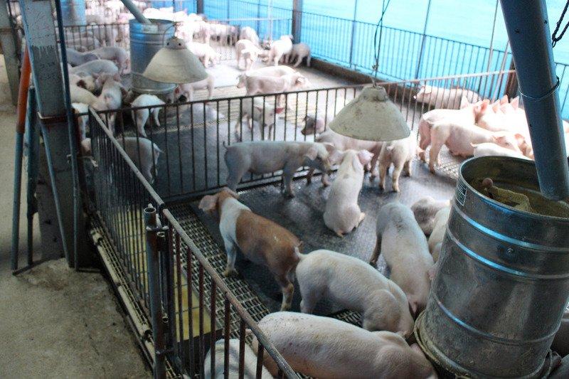 12縣市申請展延廚餘養豬限令 環署:罰單照開