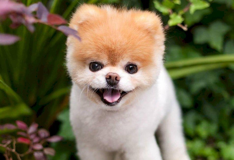 世界最可愛狗Boo走了 主人心碎告別