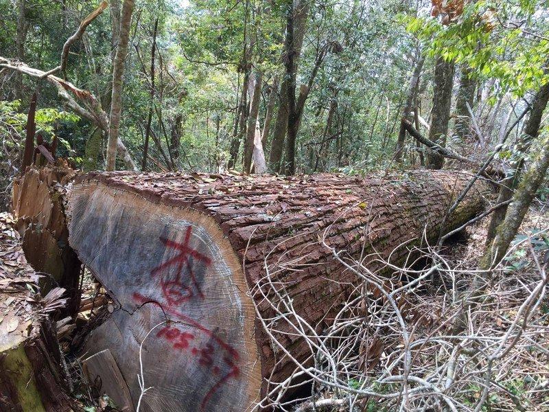 打擊山老鼠 立院三讀森林法加重竊盜貴重木罰則