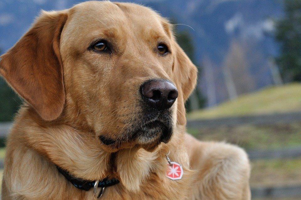 叫牠第一名!拉布拉多蟬聯30年全美人氣狗王