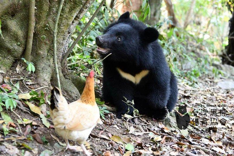 創首例! 南安小熊頭好壯壯 月底將野放回家