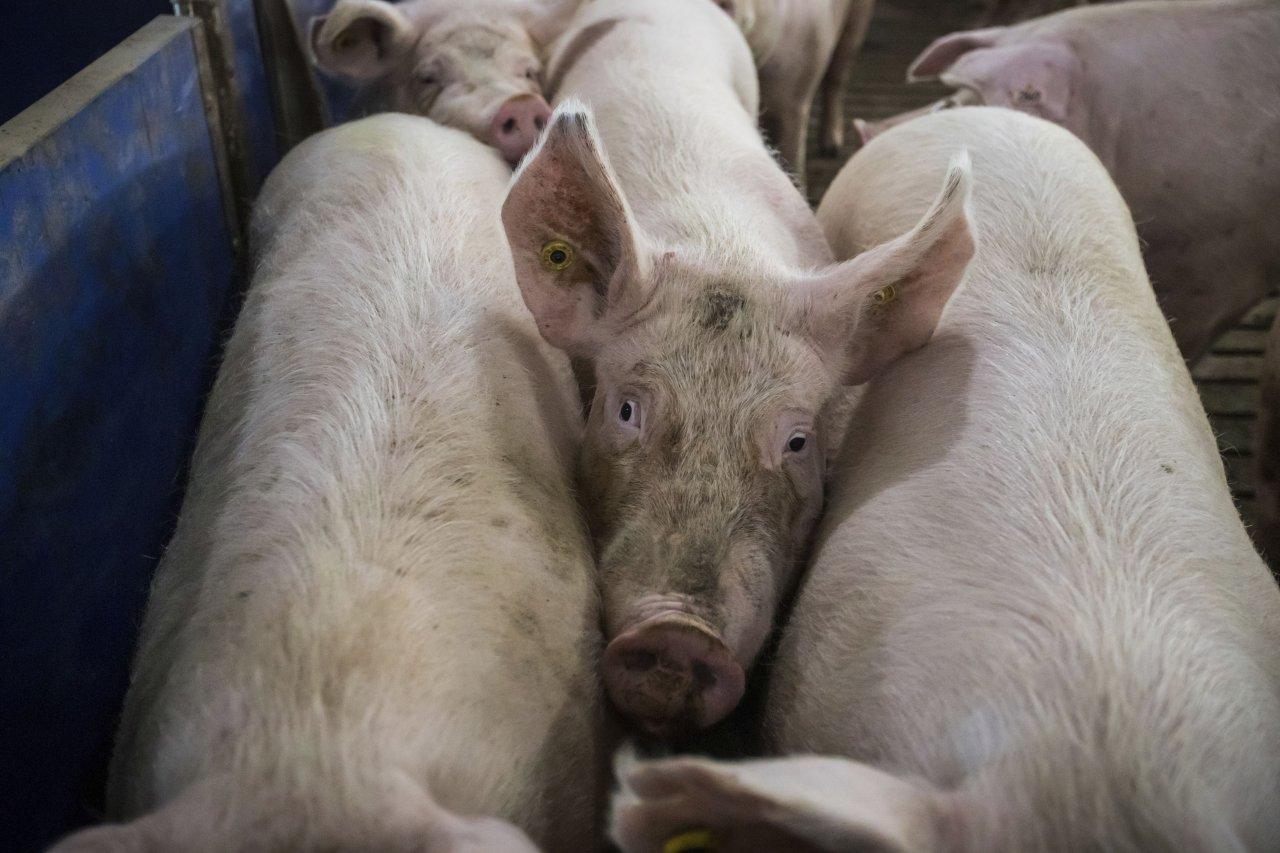 孟晚舟案止血?中國恢復加拿大牛豬肉進口