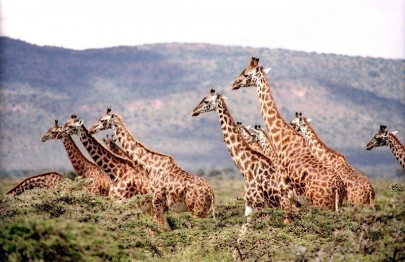淪受威脅物種 長頸鹿陷無聲消失危機
