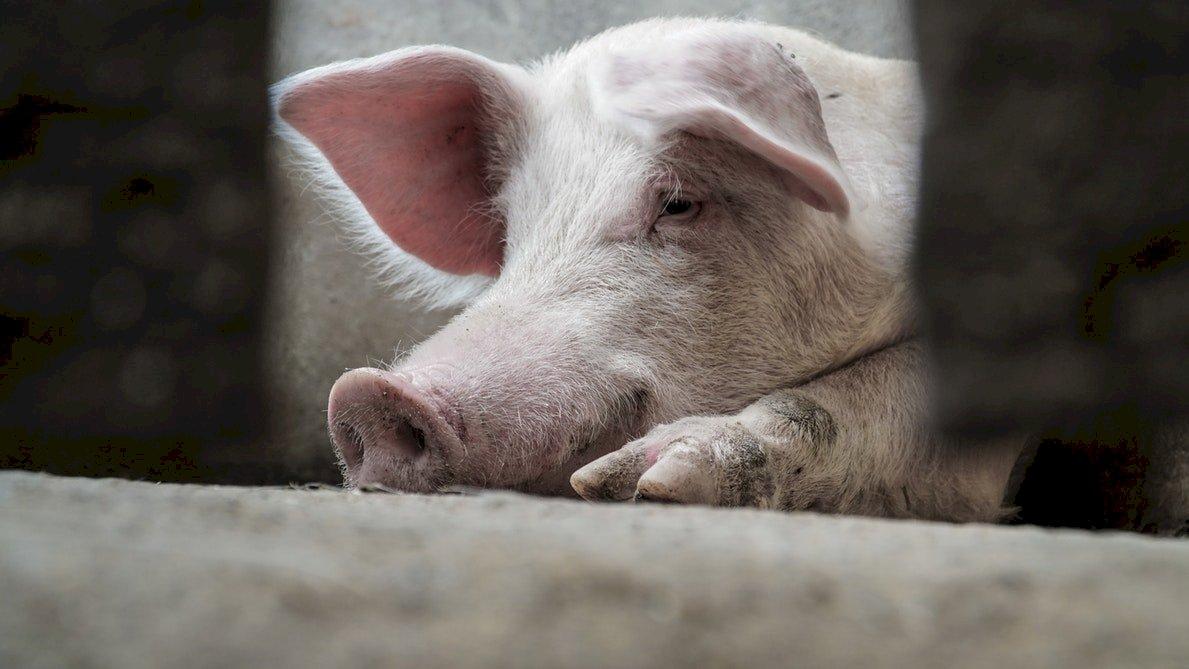 OIE:波蘭近德國邊界 爆非洲豬瘟疫情