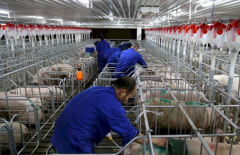 中國最新非洲豬瘟疫情 野豬也感染