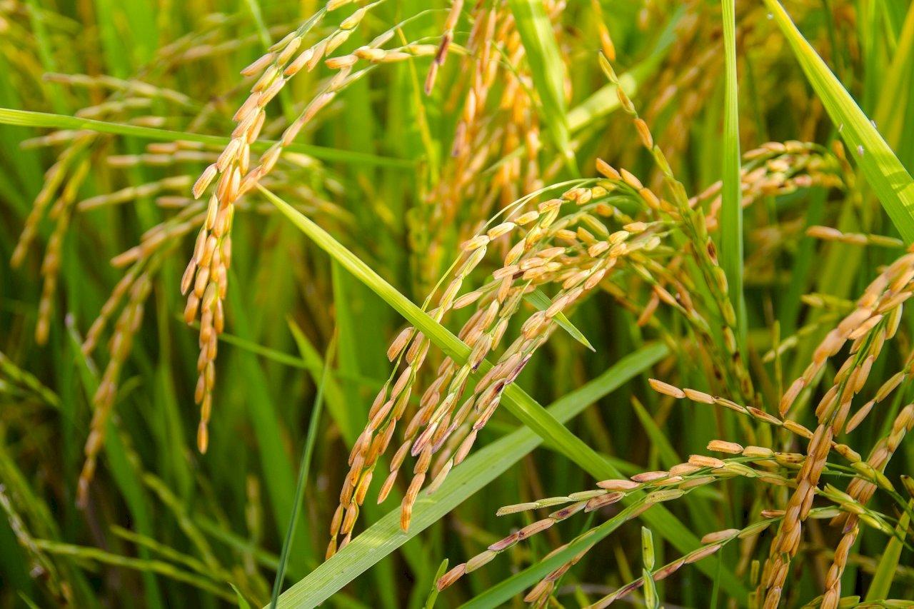 菲律賓核准基改稻米商業化 農民擔憂環境與經濟衝擊