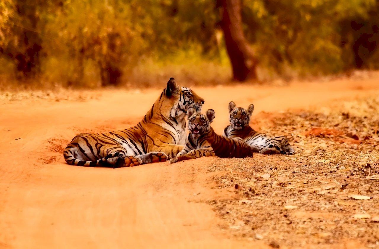 被殺遭販運 本世紀逾2300頭老虎受害