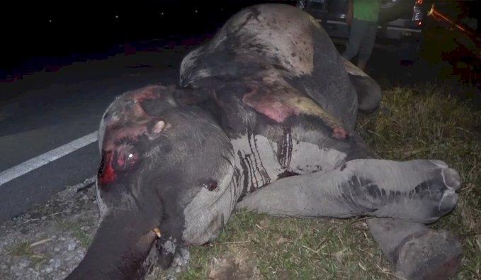 棲地被破壞 馬來西亞瀕危野象遭路殺