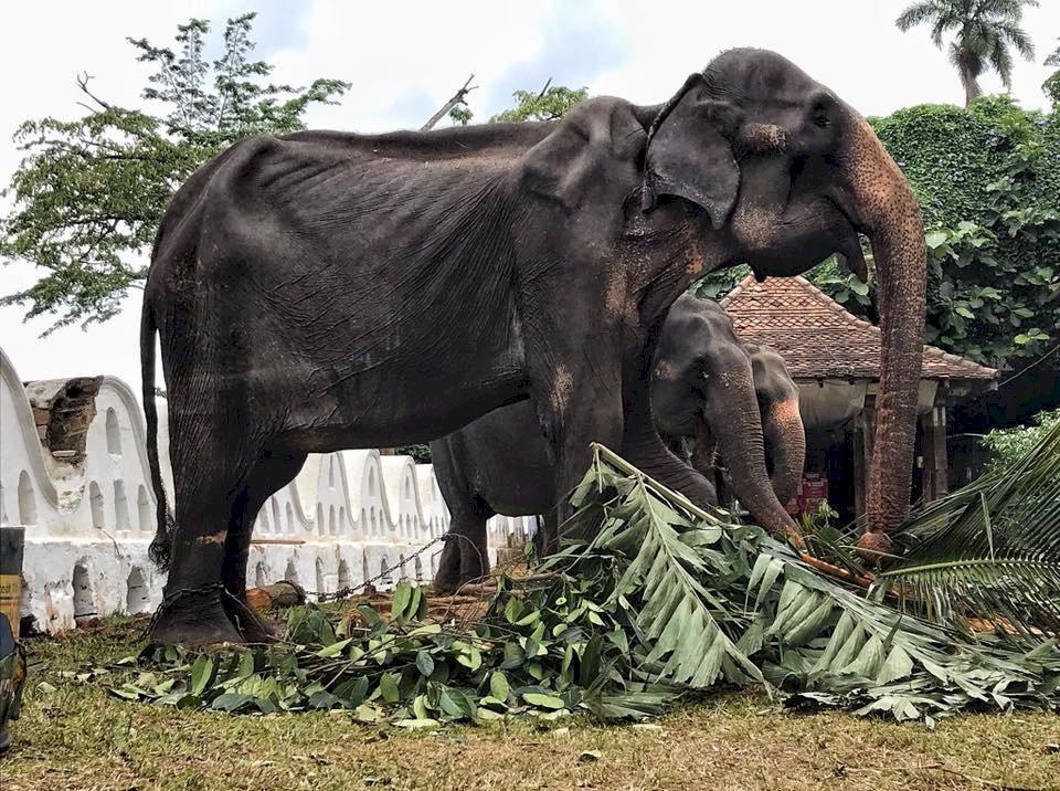 斯里蘭卡70歲母象連10天載人遊行 骨瘦令人心碎
