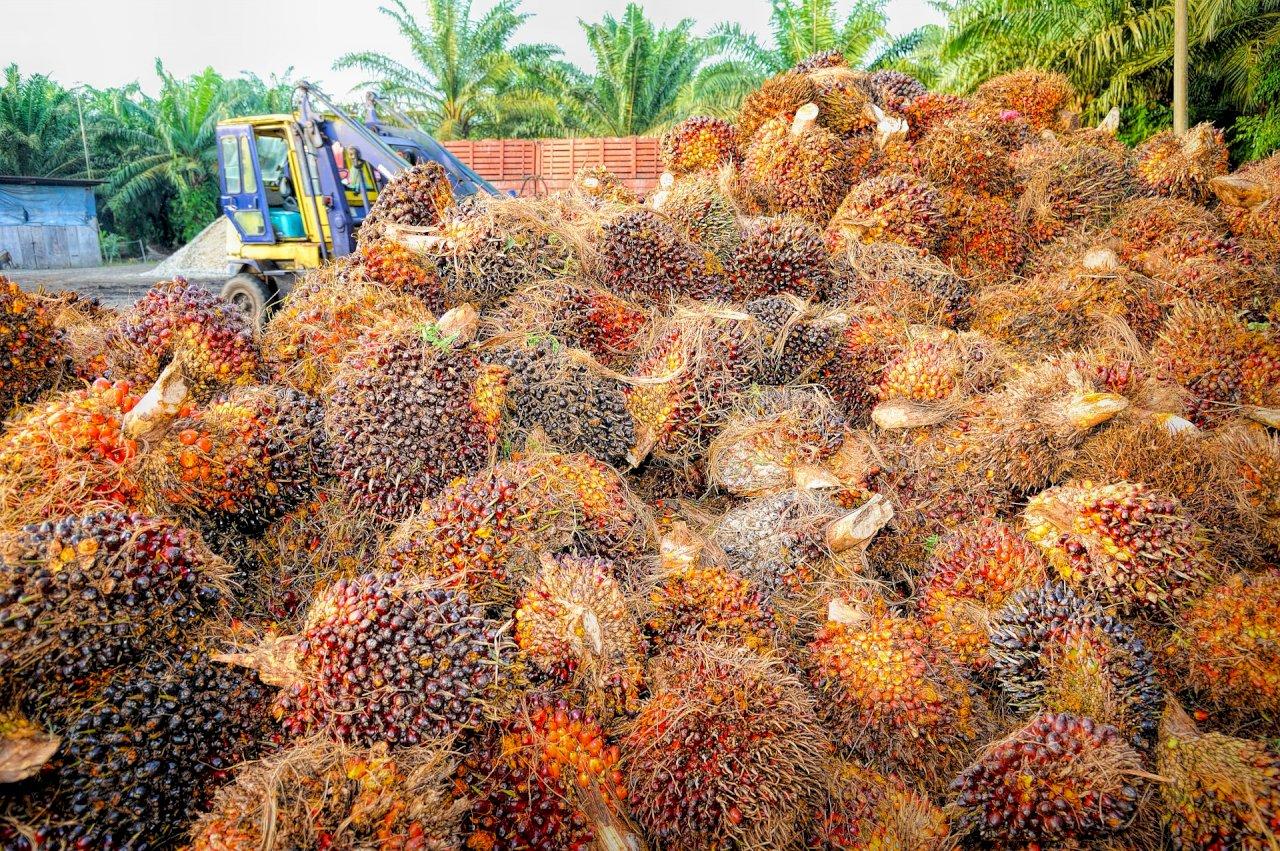 防疫缺人手 大馬棕櫚油產業找上戒毒者
