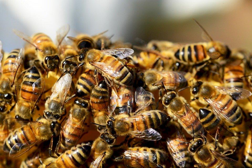 澳洲研究發現 蜂毒妙用可能摧毀惡性乳癌細胞