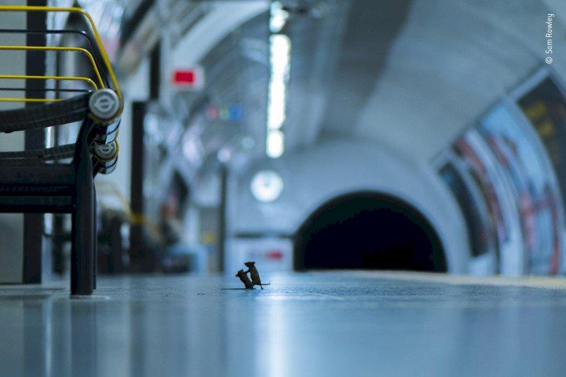 英國地下鐵兩鼠搏鬥照 奪野生動物攝影大獎