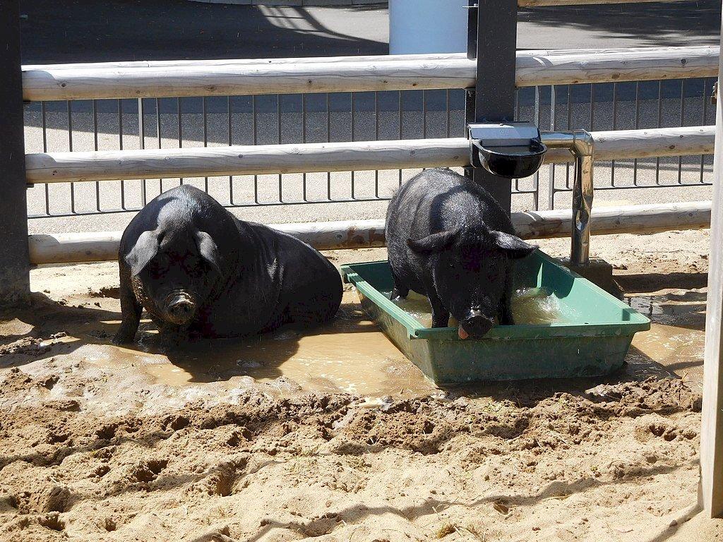 豬瘟疫情持續 日本沖繩阿古豬赴離島避難