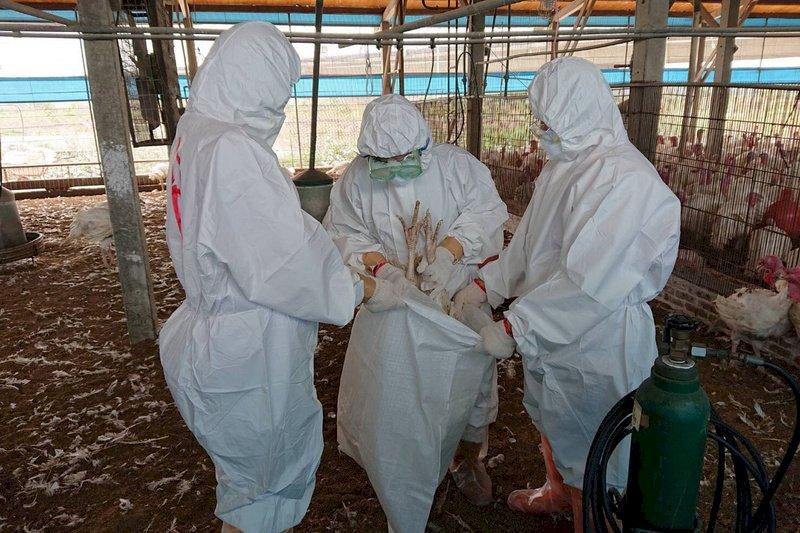禽流感國內不使用疫苗卻頻走私 農委會:滅毒不全反易散播