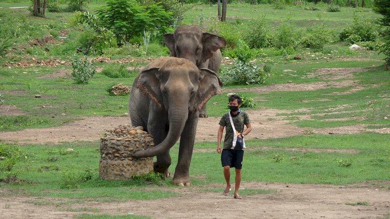 泰千頭大象因疫情返家 對當地村莊構成壓力