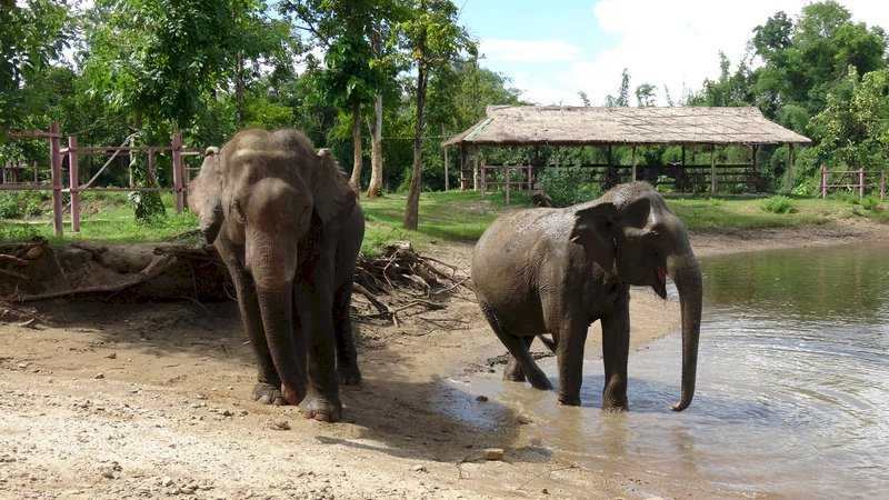 封鎖衝擊動物 黑猩猩與象群紛陷危機(影音)