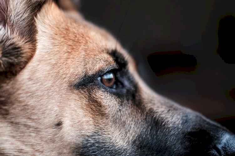 狗年齡換算人類年紀 科學家提新算法