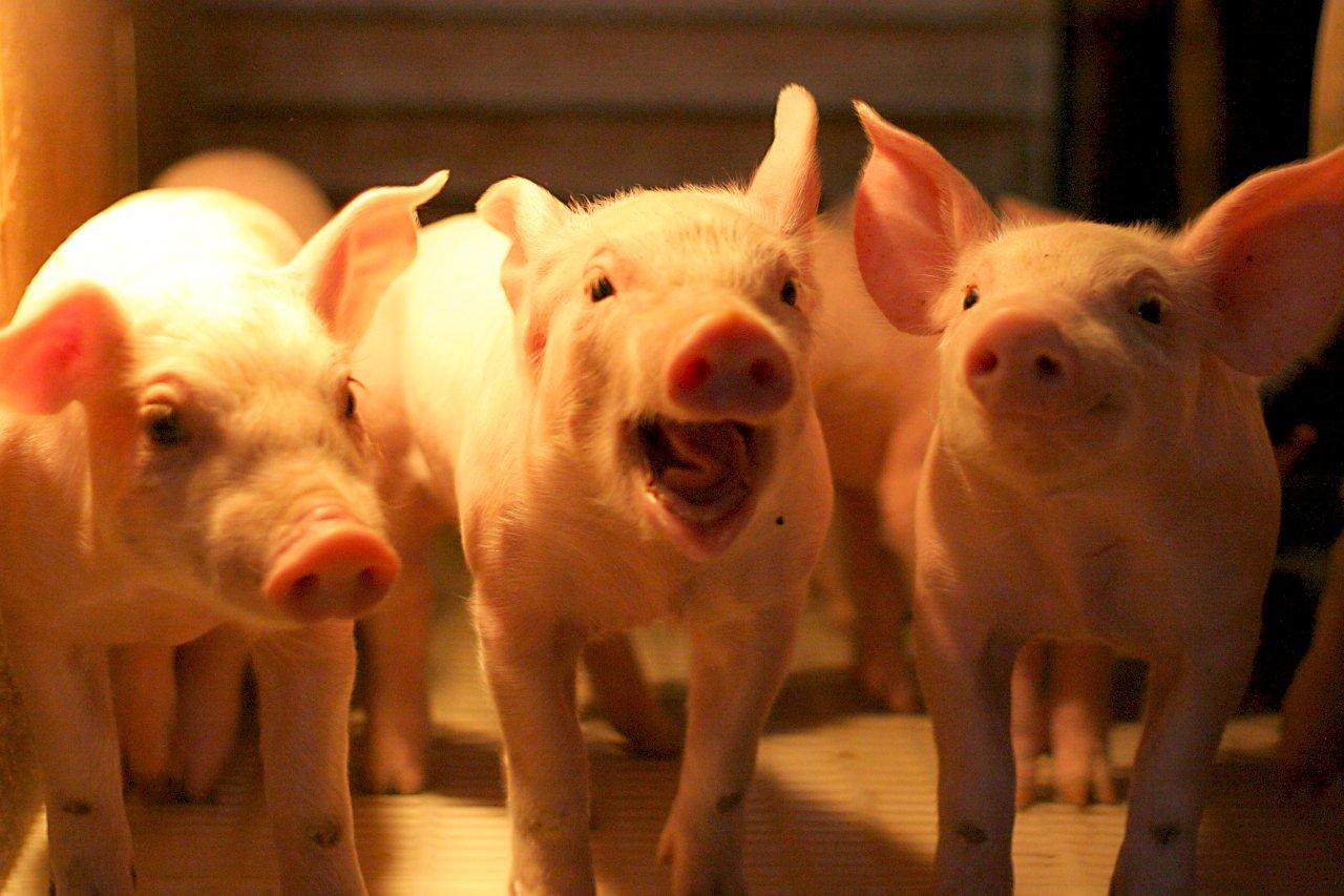 百億養豬基金 40億升級肉品冷鏈運輸