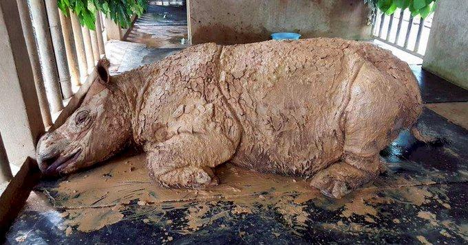 大馬要絕種犀牛死而復生 幹細胞提供希望