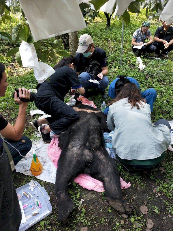 台灣黑熊脫困 後送照護評估野放