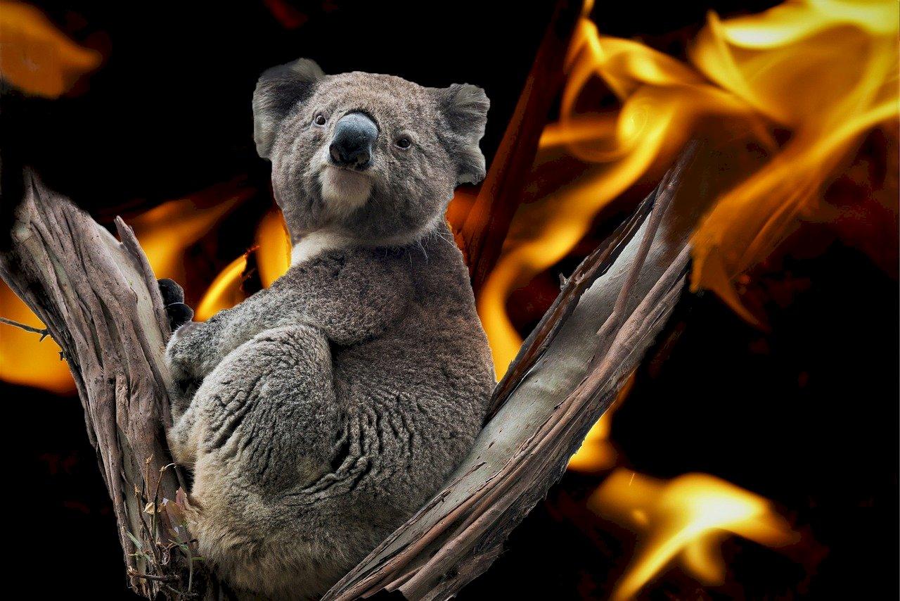 我們有生之年將目睹牠的滅絕?澳洲國寶無尾熊面臨一場艱困的生存之戰