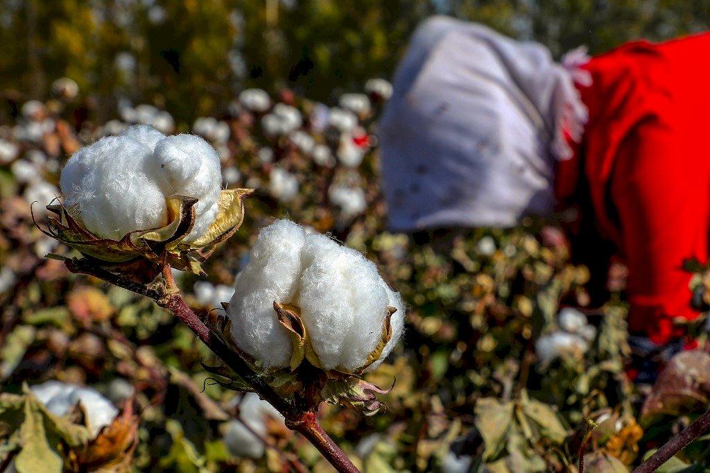 維吾爾強迫勞動血汗 美國再對新疆棉花祭制裁