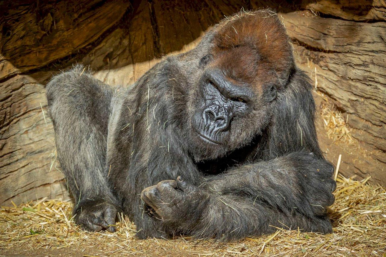 金剛也中鏢 全球首例動物園猩猩確診