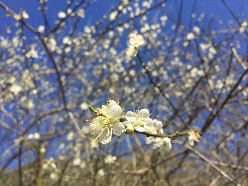 越冷越開花!太魯閣梅花盛開 花期可持續到1月底