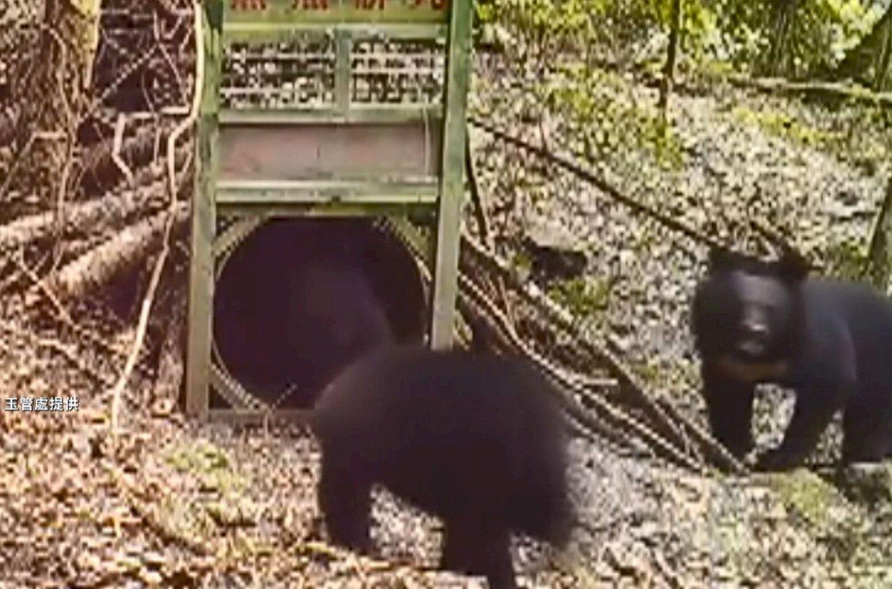 玉山西北園區首次繫放黑熊成功 相機也拍到4隻(影音)