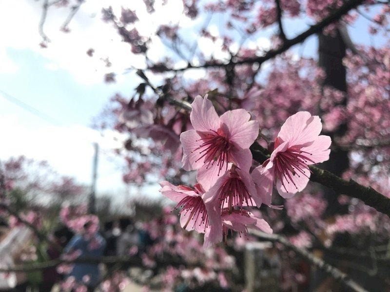 台北玩趣倉庫在哪裡? 陽明山櫻花有開嗎?