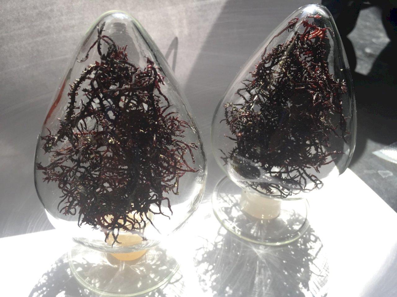 麒麟菜藻渣華麗轉身 水試所水解技術找到保健新商機