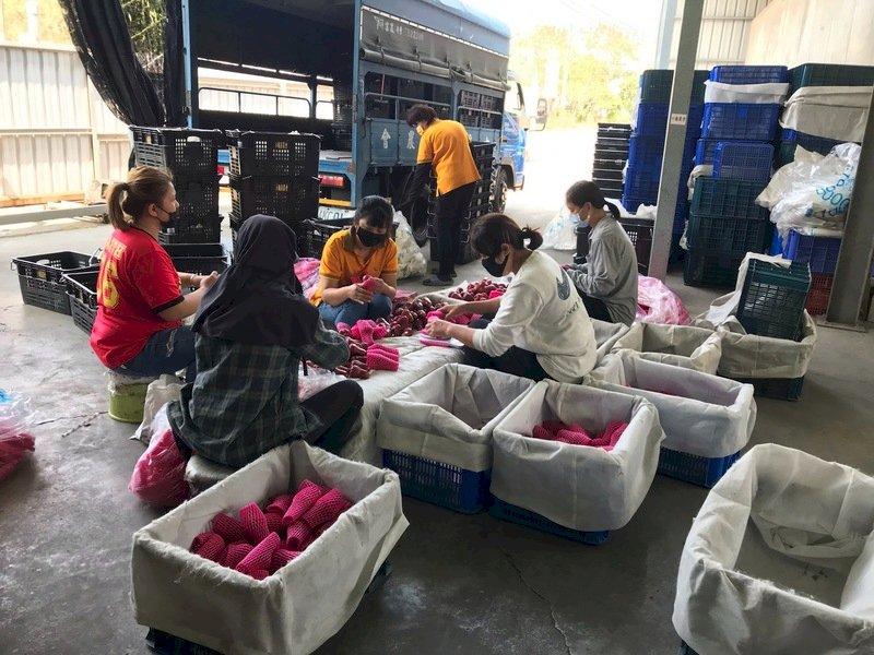 六龜被棄單蓮霧 2貿易商接手加碼共出貨400箱