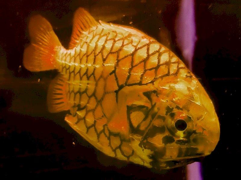 會游泳的鳳梨! 日本松毬魚成屏東海生館最新寵兒