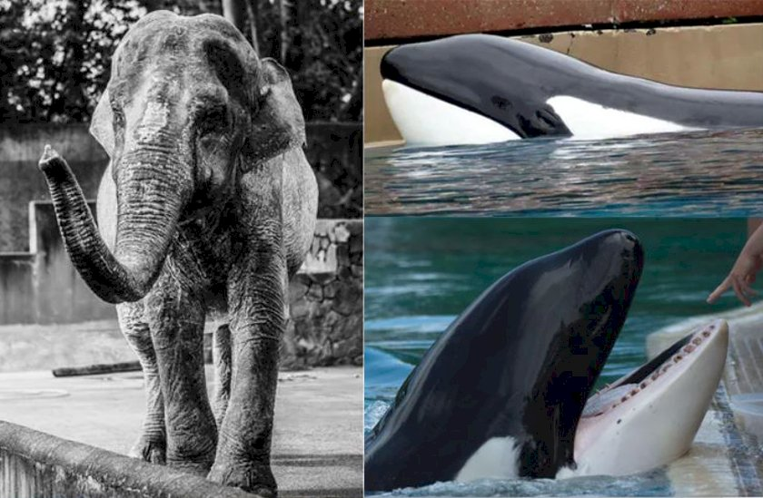 當人類愈自由 為何大型哺乳類動物卻非死即瘋?學者證實關押重創動物大腦
