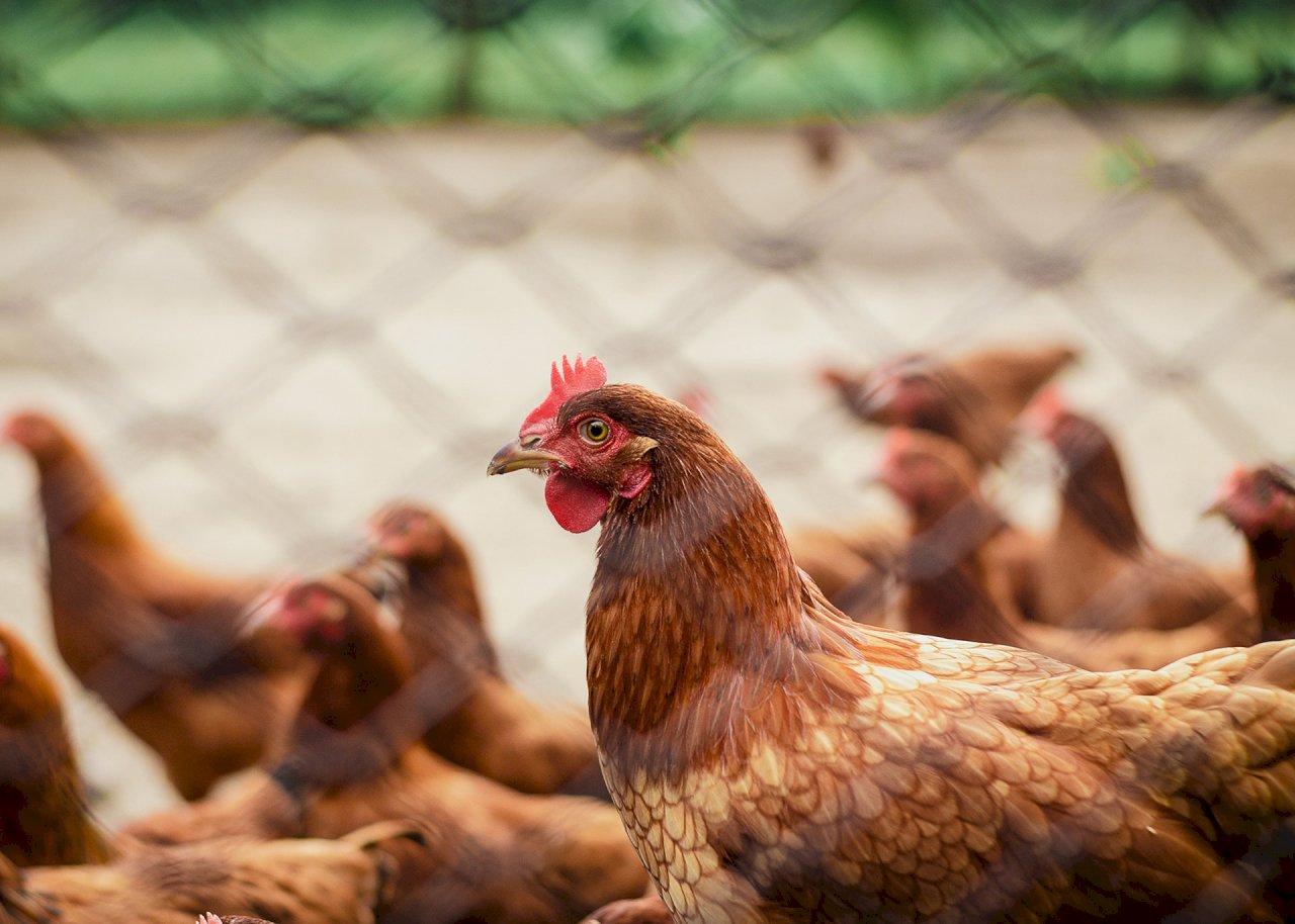 中國現H10N3禽流感禽傳人全球首例 指揮中心:已獲通報 會進一步觀察