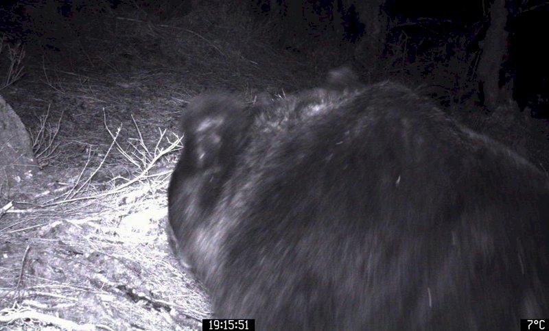 向陽山屋「熊出沒注意」!台東林管處籲山友攜帶防熊護具