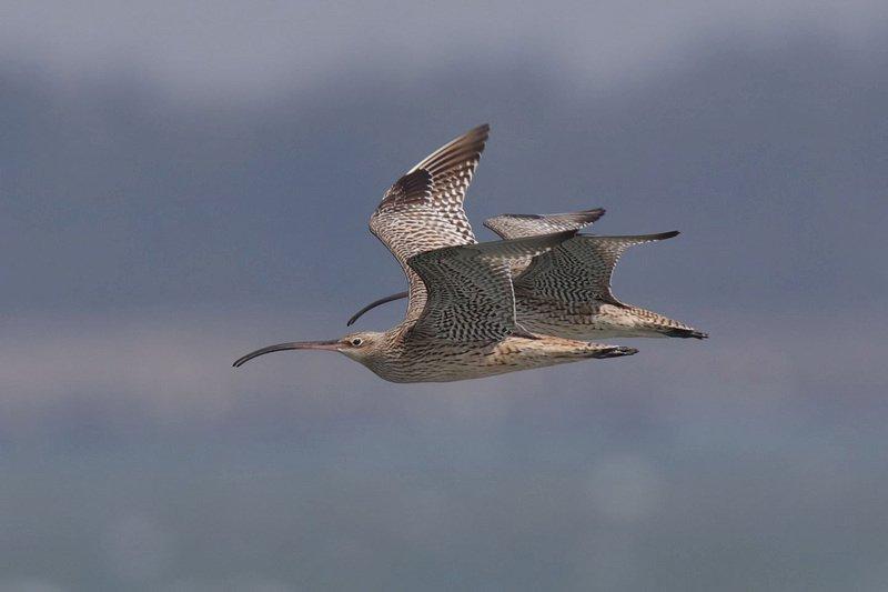 瀕危水鳥黦鷸飛逾6000公里抵台失蹤影 澳洲團隊請求協尋